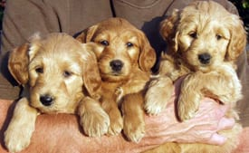 labradoodle puppy application