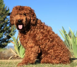 Labradoodle Puppies Available