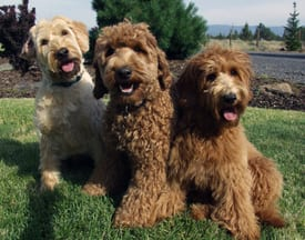 labradoodle puppies, the ideal family dog